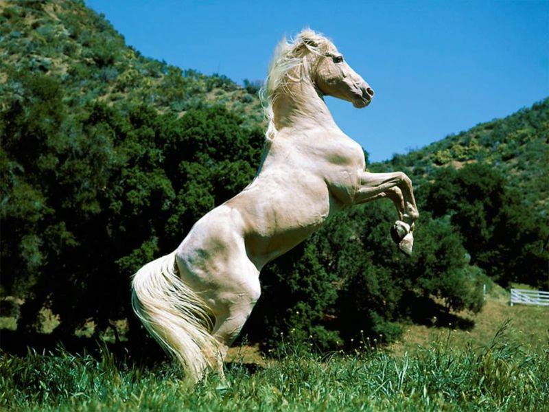 Cavalli-15